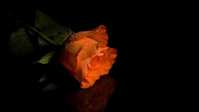 белые розы на черном фоне обои на рабочий стол № 133683 без смс